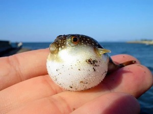Baby-Pufferfish